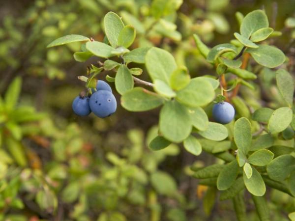 +35 plantas medicinales para la diabetes - Hojas de arándano para la diabetes