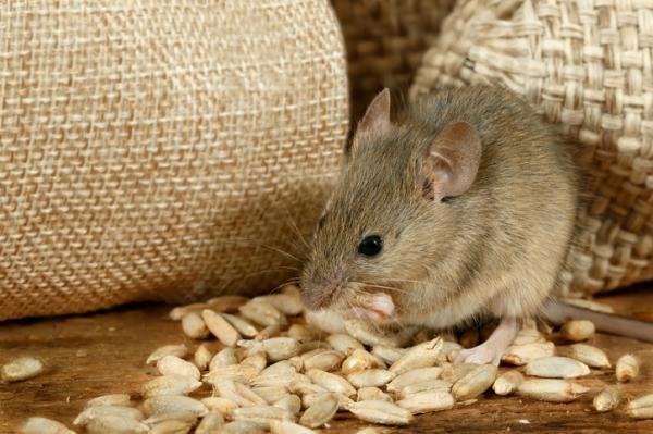 Cómo ahuyentar ratas - Cómo ahuyentar ratas con amoniaco