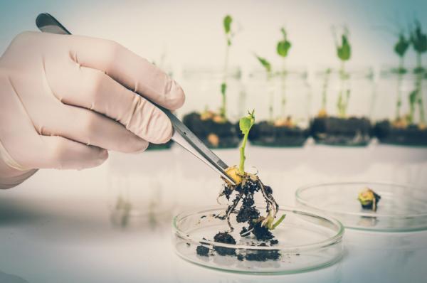 Qué son las plantas transgénicas y ejemplos - ¿Qué son las plantas transgénicas?