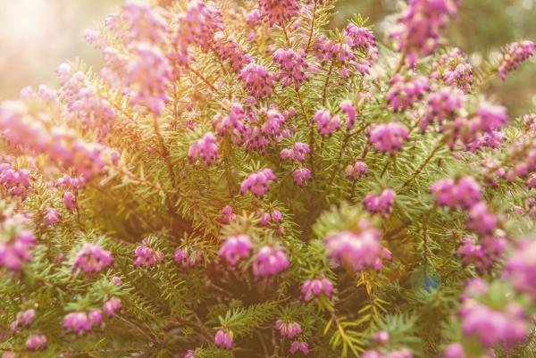 Cuidados del brezo - Cómo cuidar de la planta brezo