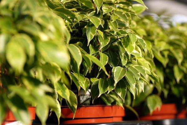 Cómo cuidar un ficus benjamina - Los cuidados del árbol ficus benjamina