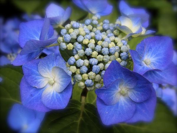 Cómo cultivar y cuidar hortensias azules - Hortensias azules o Hydrangea macrophylla: suelo y ubicación