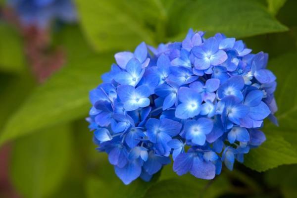 Cómo cultivar y cuidar hortensias azules - Significado de las hortensias azules