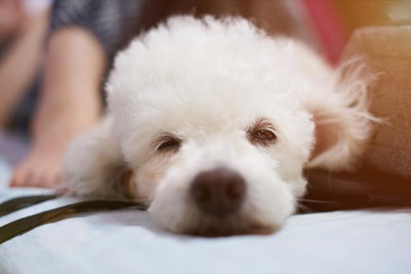 ¿Los perros tienen pesadillas? - ¿Los perros tienen pesadillas? - la respuesta