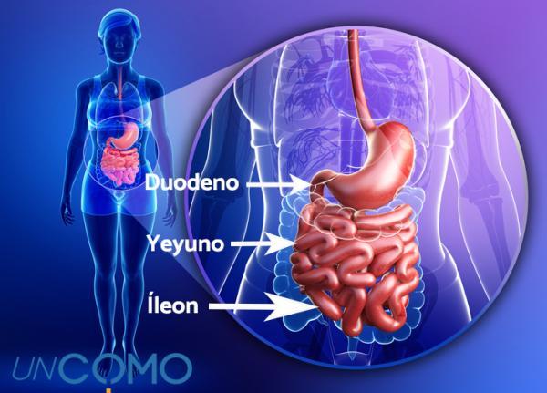 Partes y funciones del intestino delgado - Partes del intestino delgado