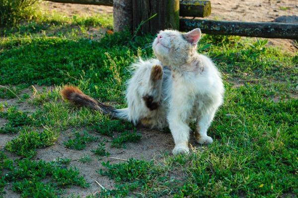 Cómo curar heridas con gusanos en gatos - Cómo saber si mi gato tiene miasis