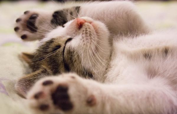 Por qué mi gato tiembla mientras duerme - Mi gato tiene espasmos cuando duerme, ¿por qué?