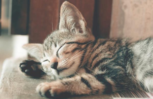 Por qué mi gato tiembla mientras duerme - Causas por las que un gato tiembla cuando duerme