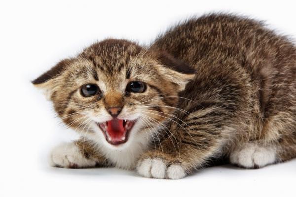 ¿Se puede bañar a los gatos bebés? - Cómo bañar a un gato bebé