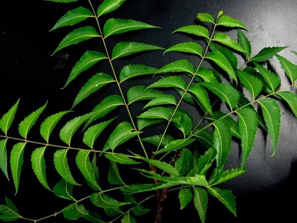 Cómo preparar insecticida con aceite de neem - Propiedades del aceite de neem o margosa