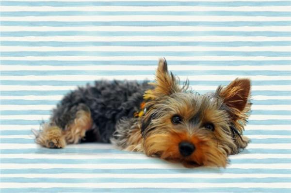 Diferencias entre Silky Terrier y el Yorkshire - Características del Yorkshire terrier