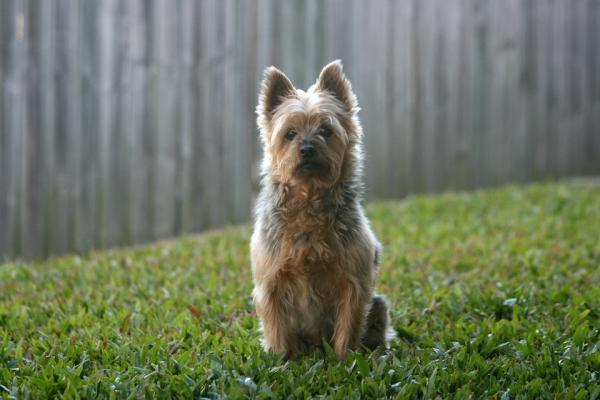 Diferencias entre Silky Terrier y el Yorkshire - Características del Silky Terrier