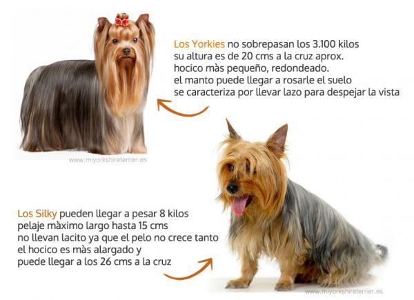 Diferencias entre Silky Terrier y el Yorkshire - Principales diferencias entre Silky Terrier y el Yorkshire