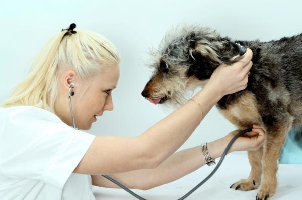Edema pulmonar en perros: síntomas y tratamiento - Tratamiento y prevención del dema pulmonar en perros