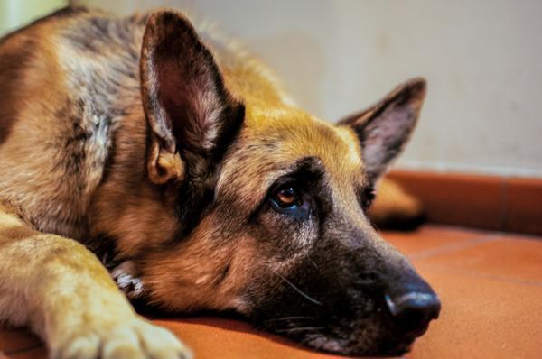 Por qué a mi perro le duele la cadera - Síntomas de dolor de cadera en perros
