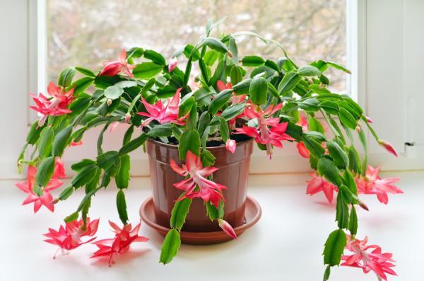 Por qué mi cactus de Navidad tiene las hojas arrugadas - El exceso de sal en el fertilizante arruga las hojas del Cactus de Navidad