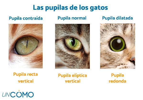 Por qué mi gato tiene las pupilas dilatadas - Cómo son las pupilas de los gatos
