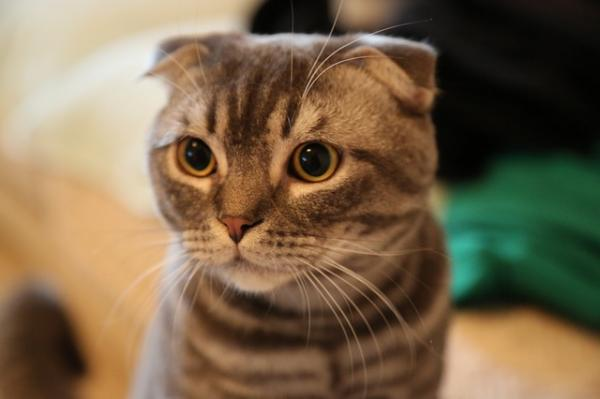 Por qué mi gato tiene las pupilas dilatadas - Por qué mi gato tiene las pupilas dilatadas: causas principales