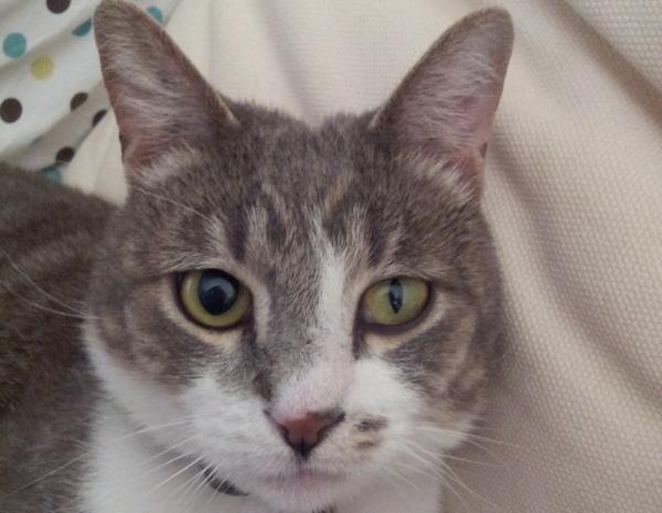 Por qué mi gato tiene las pupilas dilatadas - Por qué mi gato tiene una pupila más grande que la otra: anisocoria