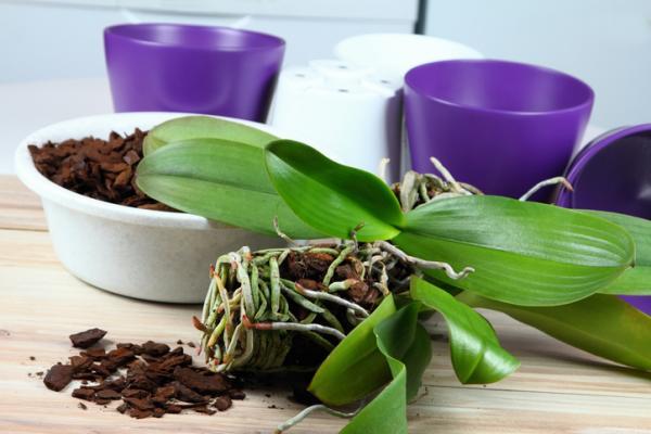 Cómo plantar orquídeas paso a paso - Pasos para plantar orquídeas: guía sencilla