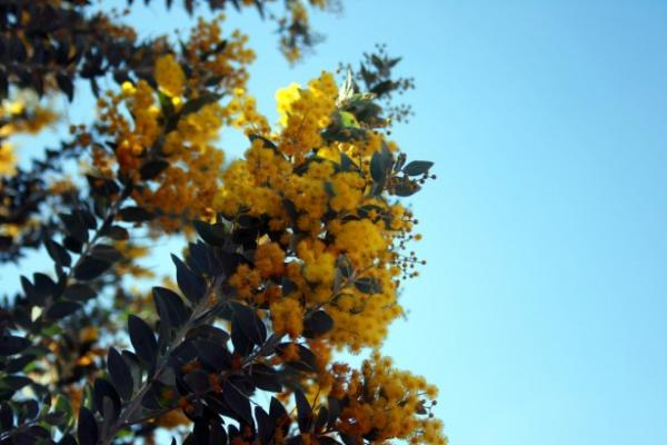 5 árboles de crecimiento rápido - Mimosa