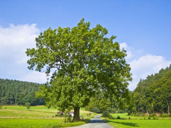 5 árboles de crecimiento rápido - Fresno, uno de los árboles de crecimiento rápido más comunes
