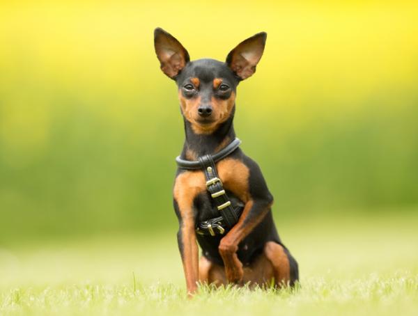 Cómo usar el vinagre de manzana para las pulgas - ¿El vinagre es malo para los perros?