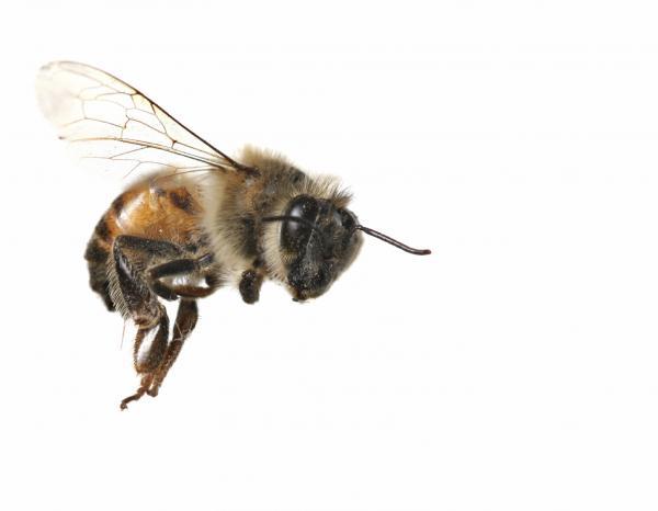 Significado de la abeja como animal de poder - Cómo son las personas con la abeja como animal de poder