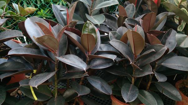5 plantas de interior grandes - Ficus robusta
