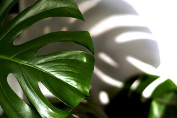 5 plantas de interior grandes - Monstera deliciosa o costilla de Adán