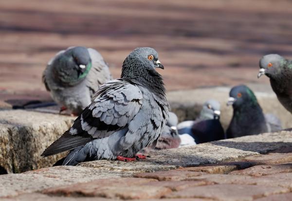 Cómo hacer veneno casero para palomas - Por qué hay plaga de palomas