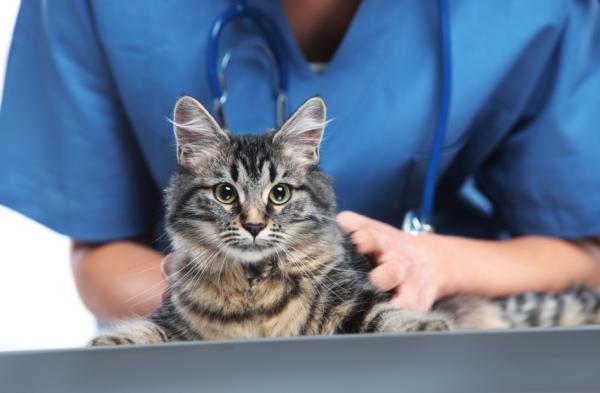 Por qué mi gato hace heces con sangre - Qué hacer si mi gato hace heces con sangre - consejos
