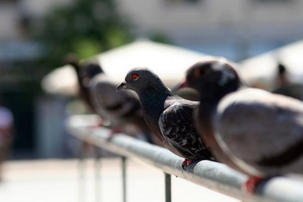 Cómo hacer veneno casero para palomas