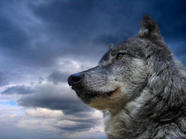 12 razas de perros que parecen lobos