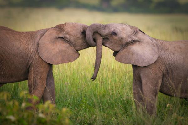 Significado del elefante como animal de poder - El elefante como símbolo de fortaleza e inteligencia