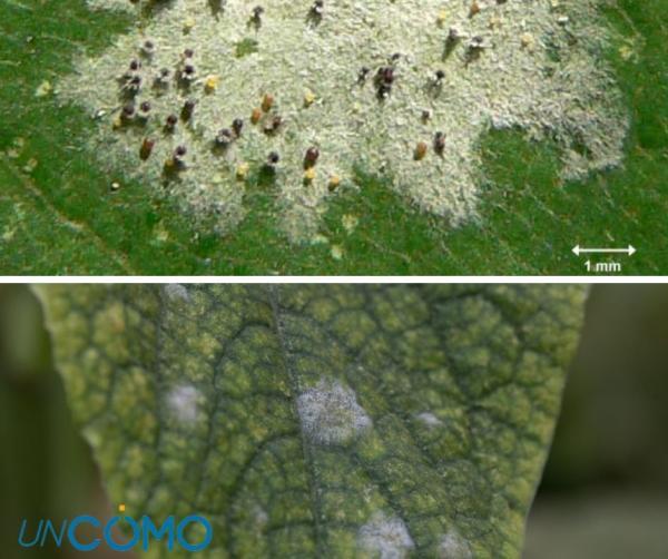 Enfermedades del aguacate - Polvillo blanco o mildiu en el aguacate