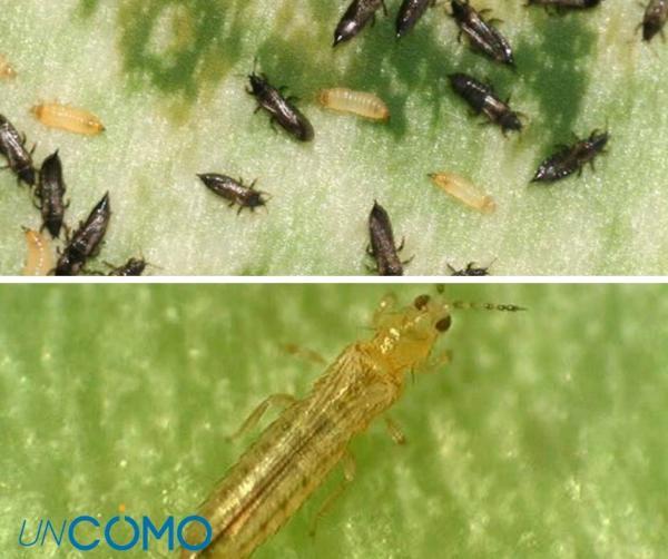 Enfermedades del aguacate - Los trips, causantes de las hojas marrones del aguacate