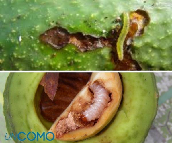 Enfermedades del aguacate - El gusano barrenador en el aguacate
