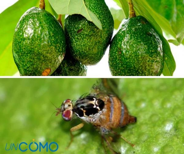 Enfermedades del aguacate - La mosca de la fruta del Mediterráneo