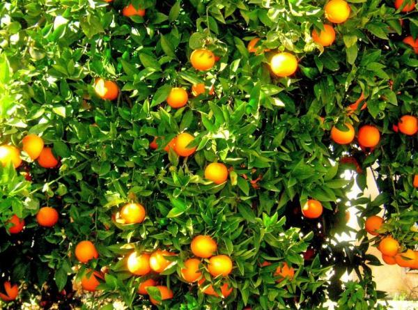 Cómo injertar un naranjo - Cuál es la mejor época para injertar naranjos