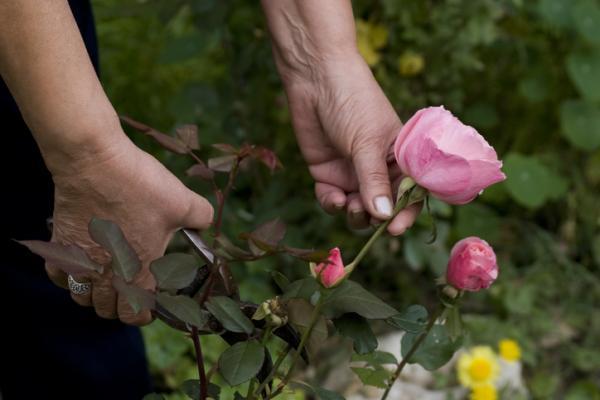 Cómo injertar rosas - Cómo injertar rosas - paso a paso
