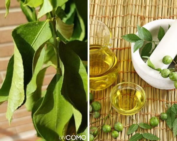 Enfermedades del limonero - Enfermedades del limonero: hojas arrugadas