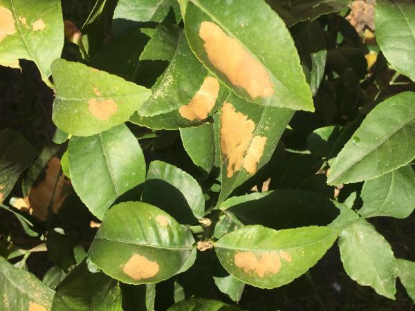 Enfermedades del limonero - Enfermedades del limonero: hojas amarillas