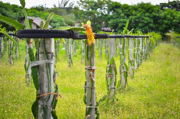 Cómo plantar pitaya - Cómo plantar pitaya