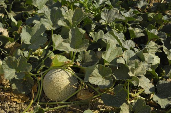 Cómo plantar y cultivar melones - Cómo sembrar melones de secano