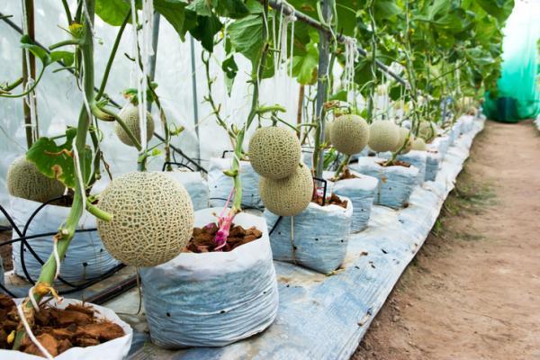 Cómo plantar y cultivar melones - Cómo plantar melones en macetas