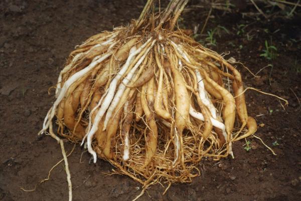 Cómo plantar espárragos - Cómo plantar garras de espárragos