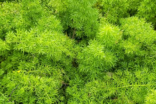 Cómo plantar espárragos - Cómo plantar espárragos - paso a paso