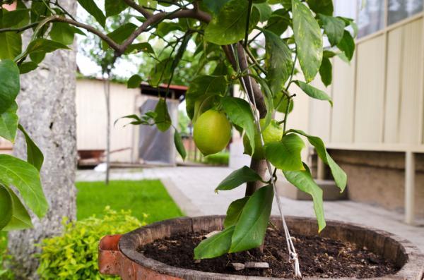 Cómo germinar semillas de limón - Cómo germinar semillas de limón - paso a paso