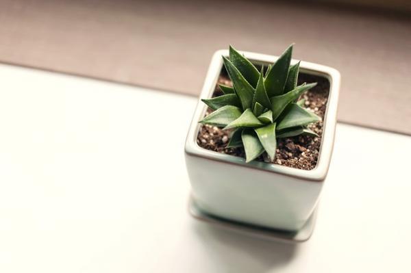 Cómo reproducir suculentas - Aloe vera
